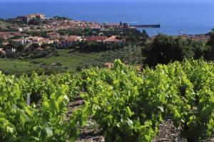 Vignobles de Collioure au premier plan, et le village avec son clocher au centre de l'image.